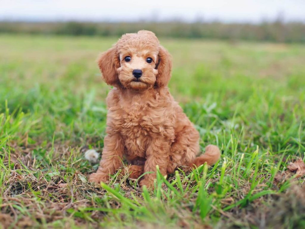 teacup poodle mix breed info