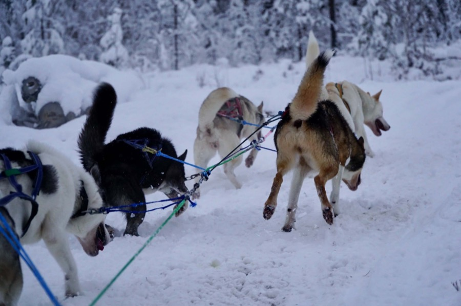 how to build a diy dogsled
