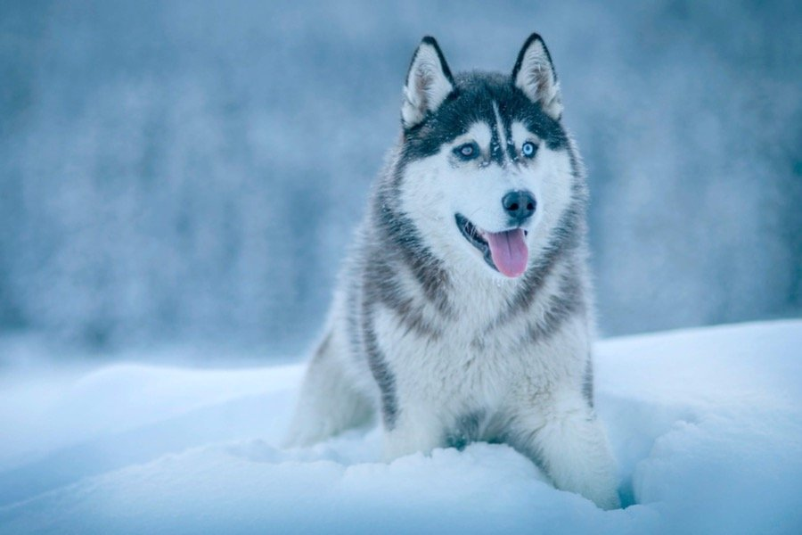 How Much Do Siberian Husky Puppies Cost
